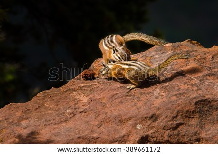 Chipmunks fighting over a pit from peach in Zion National Park, Utah. - stock photo