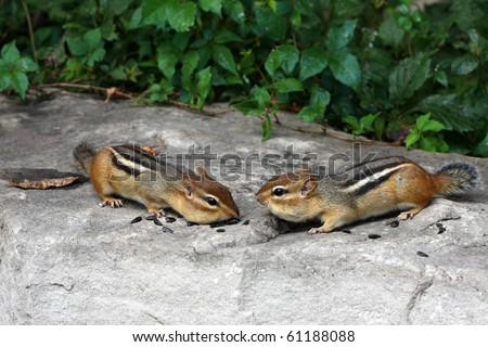 Chipmunks nose to nose - stock photo