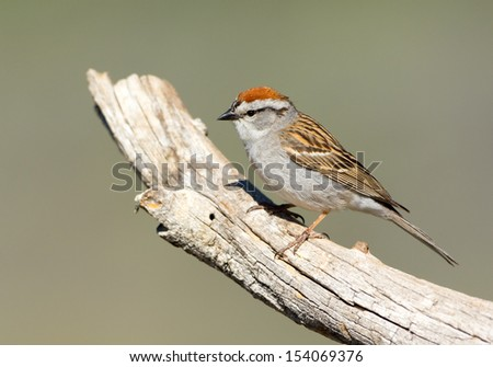 Chipping Sparrow.  Oregon, US