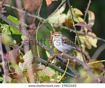 Chipping sparrow perched on a thorn bush