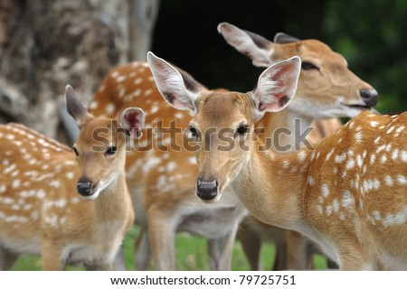 Chital deer mother and child - stock photo