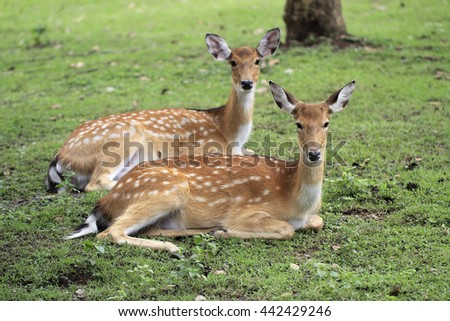 Chital or cheetal deer (Axis axis), also known as spotted deers or axis deers in night safari chiangmai thailand - stock photo