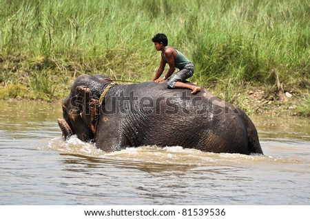 CHITWAN NATIONAL PARK, SAURAHA, NEPAL MAY 2011: Man seats on bathing Asian Elephant (Proboscidea Elephas maximus) 19 May. 2011 in Chitwan National Park river, Nepal. - stock photo