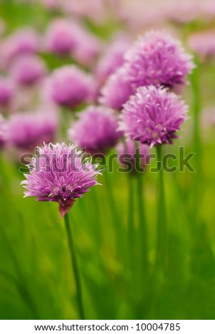 Chive blossoms - stock photo