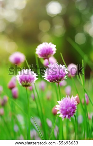 Chive flowers in a garden - stock photo