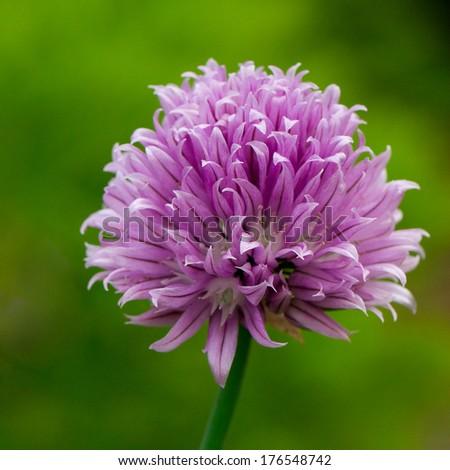 Chive herb flowers in a garden (Allium schoenoprasum)  - stock photo