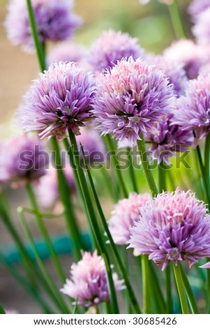 Chive Purple flower - stock photo