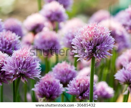 Chive Purple flower - stock photo
