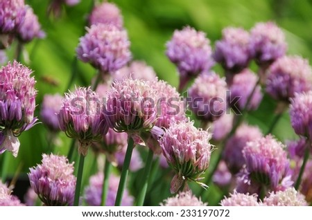 chives  - stock photo