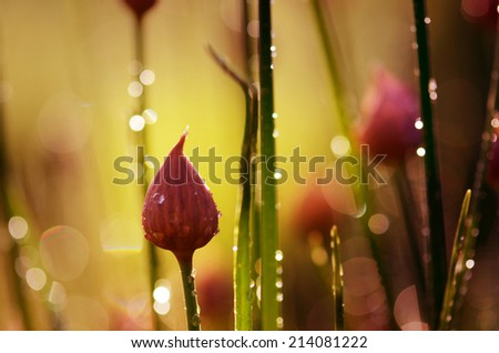 chives end dew - stock photo