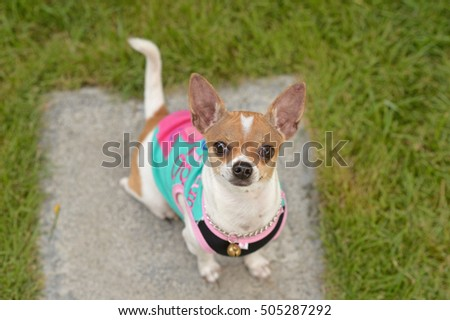 Chiwawa dog on grass in park top view