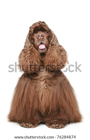 Chocolate American cocker spaniel. Portrait on a white background - stock photo