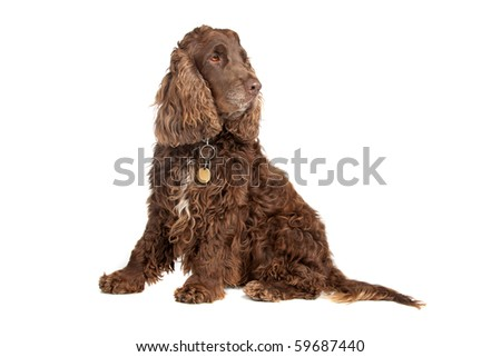 chocolate brown Cocker Spaniel isolated on white
