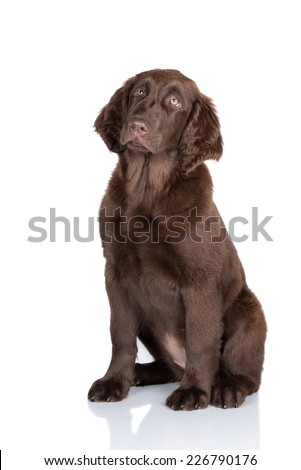 chocolate brown flat coated retriever puppy - stock photo