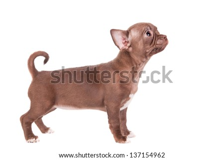 Chocolate Chihuahua puppy the age of 1 month isolated on white - stock photo