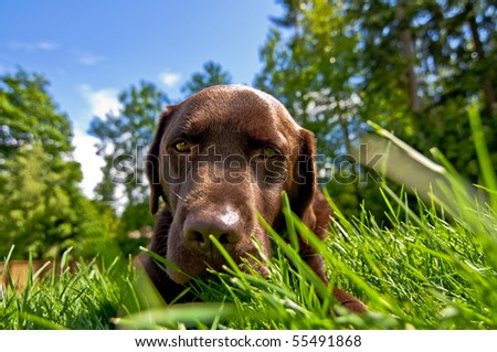 Chocolate Lab in backyard lawn outside on a sunny afternoon - stock photo