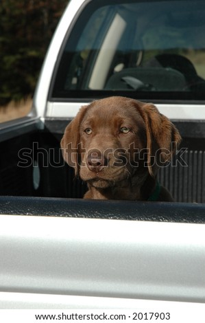 chocolate lab in truck bed - stock photo