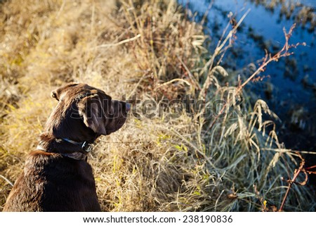 Chocolate Lab looking around for ducks - stock photo
