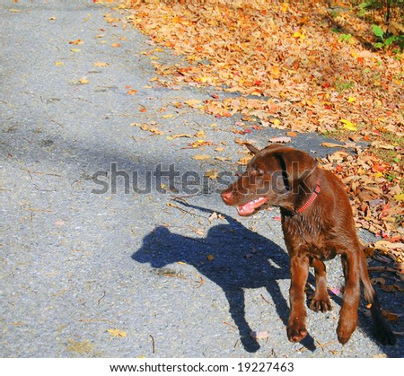 chocolate lab puppy chasing shadow - stock photo