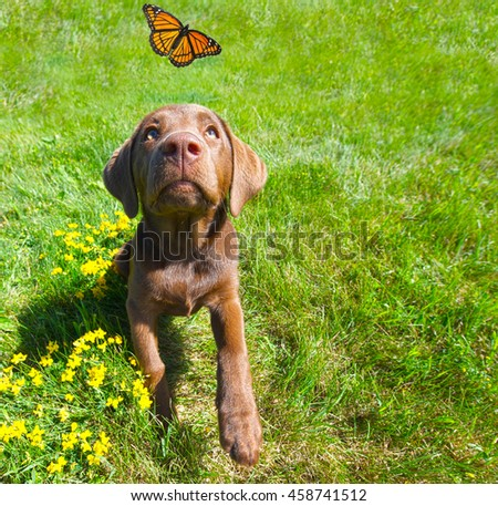 Chocolate lab puppy looking excitedly at a passing butterfly in the summer, wide angle.
