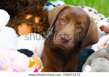 Chocolate lab puppy looking sleepy while surrounded by stuffed animals. - stock photo