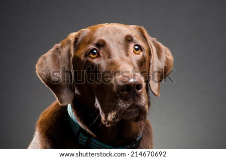 Chocolate lab studio portrait - stock photo