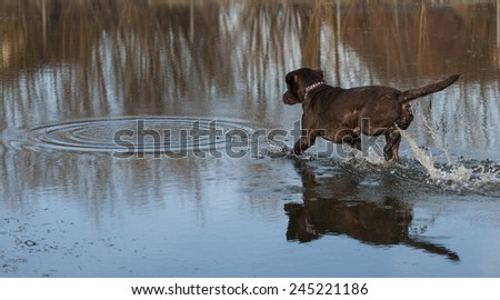 chocolate Labrador in the water - stock photo