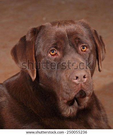 Chocolate labrador lying  - stock photo
