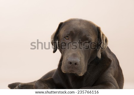 Chocolate Labrador lying on the ground, set against a pale pink background. - stock photo