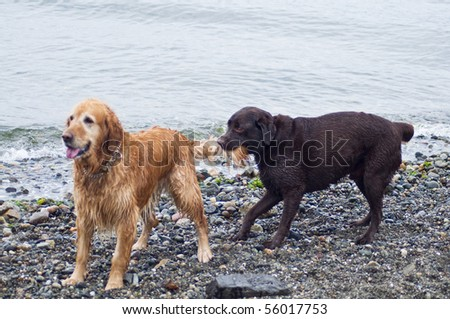 Chocolate Labrador playing tug of war with a Golden Retriever's tail on a beach