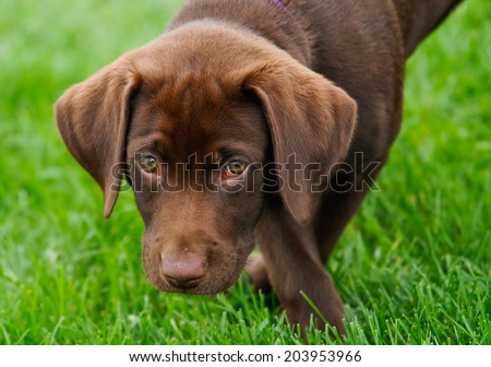 Chocolate labrador puppy looking into camera on grass background - stock photo