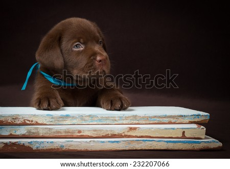 Chocolate labrador puppy lying on the colored boards. Brown background - stock photo