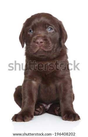Chocolate Labrador puppy portrait on white background