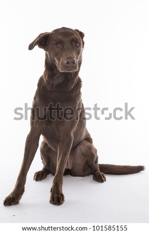 Chocolate labrador retriever dog isolated on a white background.