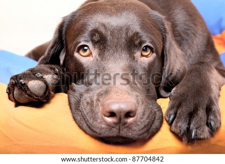 Chocolate Labrador Retriever dog lies and looks sad eyes - stock photo