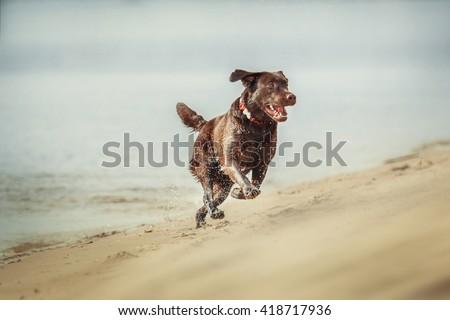 Chocolate labrador retriever dog on the beach - stock photo