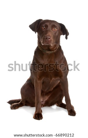 Chocolate labrador retriever dog sitting and looking at camera, isolated on a white background. - stock photo