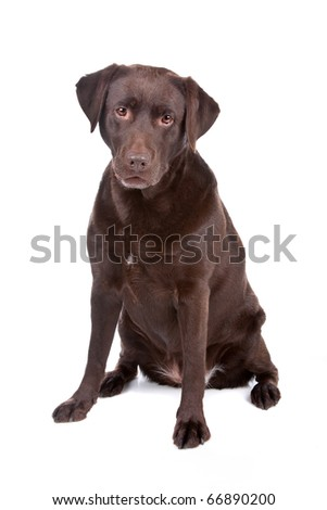 Chocolate Labrador Retriever dog sitting isolated on a white background