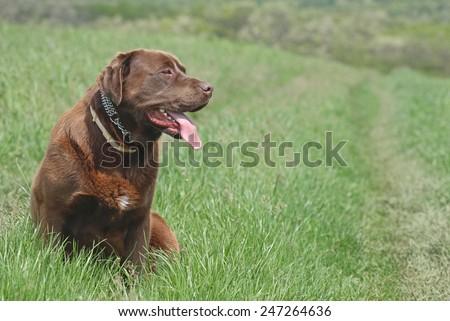Chocolate labrador retriever dog sitting outside  - stock photo