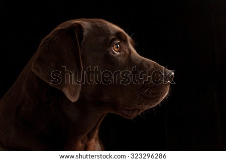 Chocolate Labrador Retriever on black background - stock photo