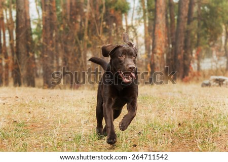 chocolate labrador retriever running in the forest on the background - stock photo