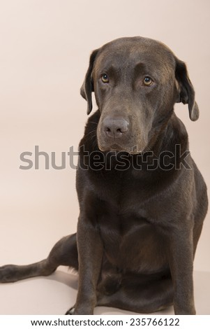 Chocolate Labrador sitting on the ground, set against a pale pink background. - stock photo