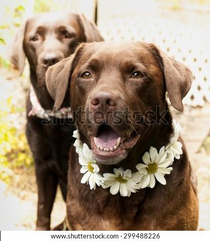 chocolate Labradors and daisy collars - stock photo
