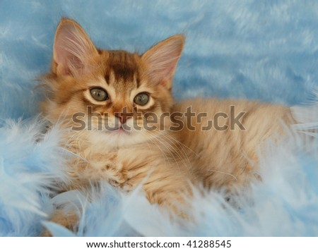 chocolate somali kitten relaxing in blue feathers - stock photo
