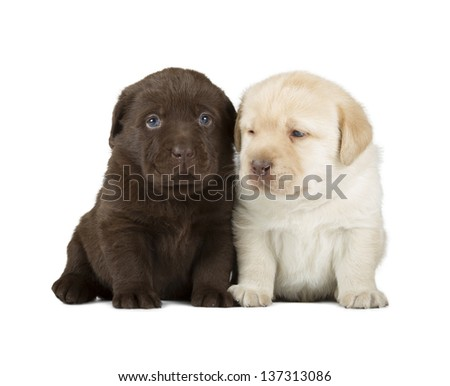 Chocolate & Yellow Labrador Retriever Puppies (4 week old, isolated on white background)