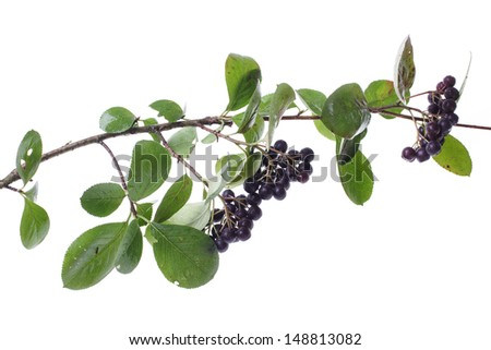 chokeberrys twig isolated on white background - stock photo