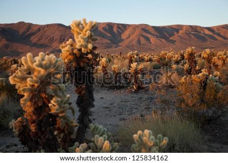 Cholla Cactus at Sunrise - stock photo