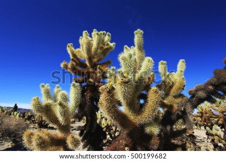 Cholla Cactus Garden at Joshua Tree National Park, California, USA