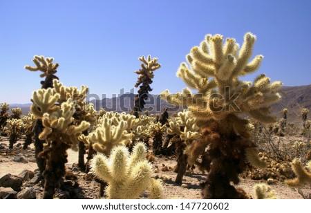 Cholla Cactus - Joshua Tree National Park - stock photo