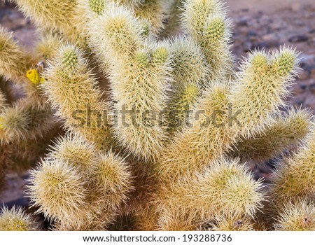 Cholla cactus needles closeup in desert - stock photo